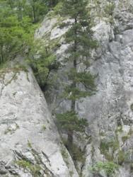 Сосны в скалах