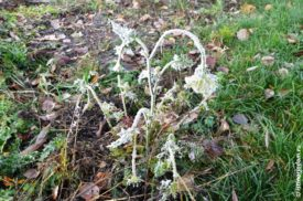 Замёрзший цветок