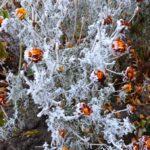 Иней на декоративных растениях
