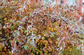Иней на цветных листьях кустарника