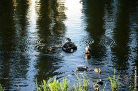 белгородские утки на шестерне в реке Везелка