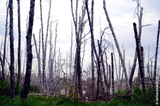 болото ЖБК лес сухие берёзы