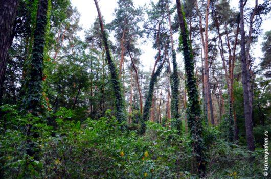 дикий виноград оплетает сосны в лесу